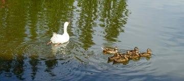 Утка мамы с утятами Стоковые Изображения