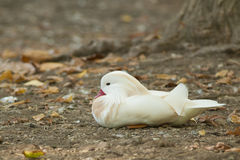 Утка мандарина альбиноса стоковая фотография rf