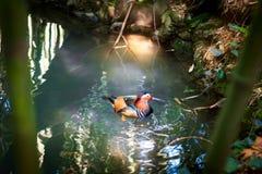 Утка мандарина в пруде стоковые фотографии rf