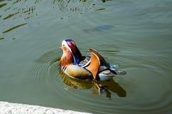 18 утка мандарина 04 326 плавая в пруд стоковая фотография