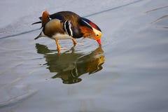 Утка мандарина Стоковые Изображения RF