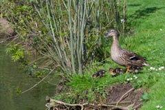 Утка матери с цыпленоками на озере Стоковые Фото