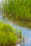 утка малая Стоковые Изображения RF