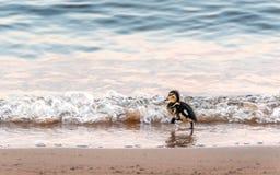 Утка младенца бежать на пляже в волны Стоковое фото RF