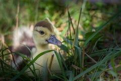 Утка младенца в траве Стоковое Изображение