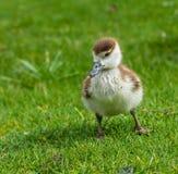 утка младенца милая Стоковые Изображения RF