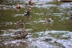 Утка наслаждаясь водой с друзьями стоковое изображение rf