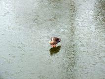 Утка на бассейне льда в зиме Стоковые Изображения