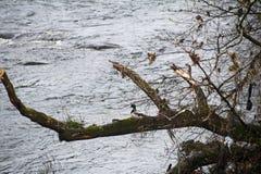 Утка на ветви - Шотландия кряквы Стоковое Фото