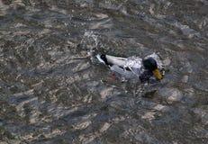 Утка на воде Стоковое Изображение RF