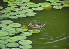 Утка на воде с зеленой предпосылкой Стоковые Фотографии RF