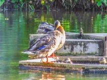 Утка на воде Стоковое Изображение
