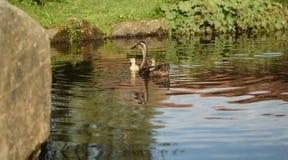Утка на воде Стоковая Фотография
