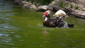 Утка на зеленом озере сток-видео