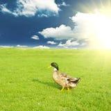 Утка на зеленом луге Стоковое Изображение