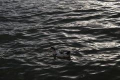 Утка на море стоковое фото rf