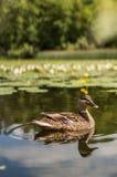 Утка на озере с расплывчатой предпосылкой стоковое фото