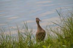 Утка на озере Стоковая Фотография RF