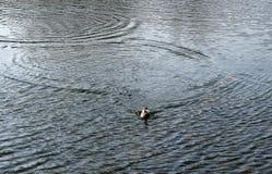 Утка на озере Стоковое Изображение