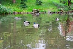 Утка на озере Стоковое Изображение RF