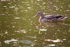 Утка на озере Стоковые Изображения