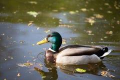 Утка на озере Стоковое фото RF