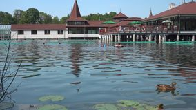 Утка на озере Heviz летом сток-видео