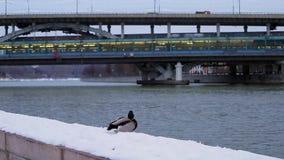 Утка на прогулке зимы около моста акции видеоматериалы