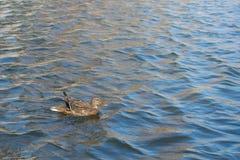 Утка на пруде женщина Солнечний свет на воде Весна Немножко поднятые крыла Стоковое Фото