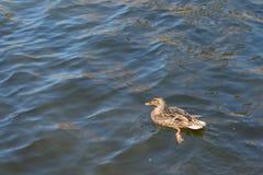 Утка на пруде женщина Солнечний свет на воде Весна Стоковое Изображение RF