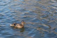 Утка на пруде женщина Солнечний свет на воде Весна Стоковые Изображения