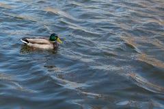 Утка на пруде мужчина Солнечний свет на воде Стоковые Изображения