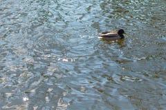 Утка на пруде мужчина Солнечний свет на воде Стоковая Фотография