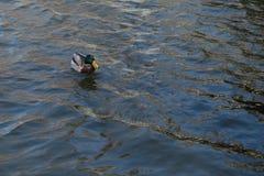 Утка на пруде мужчина Солнечний свет на воде Стоковое фото RF