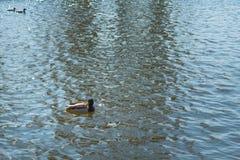 Утка на пруде мужчина Солнечний свет на воде Стоковые Изображения RF