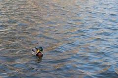 Утка на пруде мужчина Стоковая Фотография RF