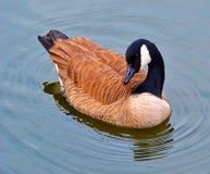 Утка на пруде парка Пьемонта в Атланте GA Стоковые Фотографии RF