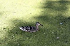 Утка на пруде с Duckweed Стоковая Фотография RF
