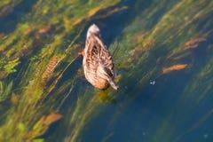 утка на пруде Стоковое фото RF