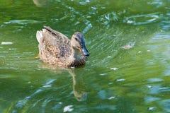 Утка на пруде Стоковая Фотография