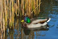 Утка на пруде Стоковое Фото