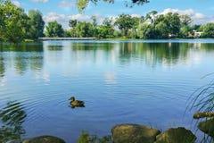 Утка на пруде Стоковое Изображение RF