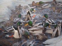 Утка на реке Стоковое фото RF