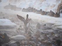 Утка на реке Стоковые Изображения