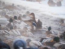 Утка на реке Стоковое Изображение