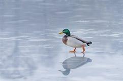 Утка на льде Стоковая Фотография