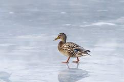 Утка на льде Стоковая Фотография RF