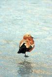 утка одичалая Стоковое Изображение