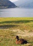 Утка около озера Лугано Стоковое фото RF