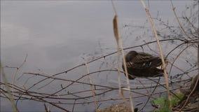 Утка отдыхая на реке акции видеоматериалы
